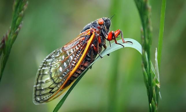 cicadas 2021